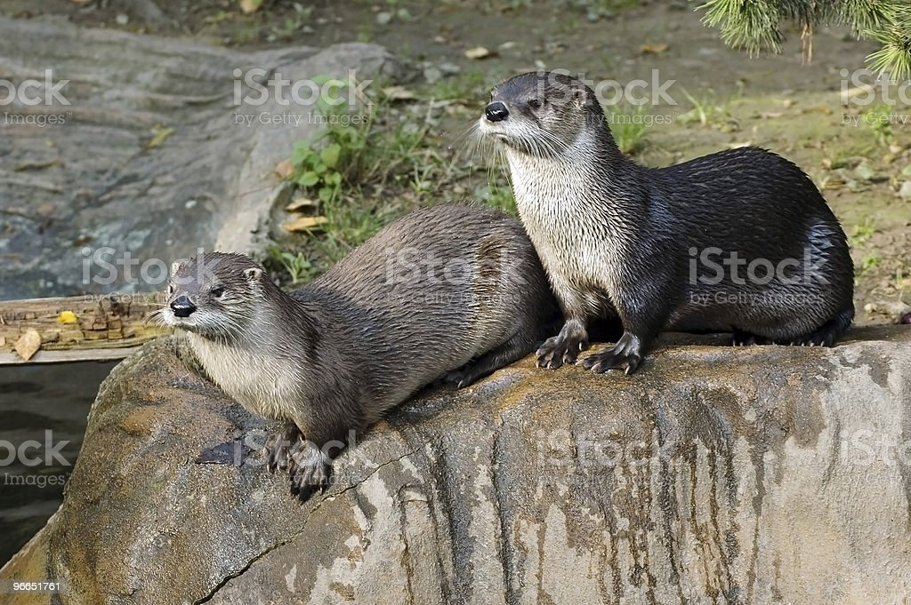 Two otters stock photo