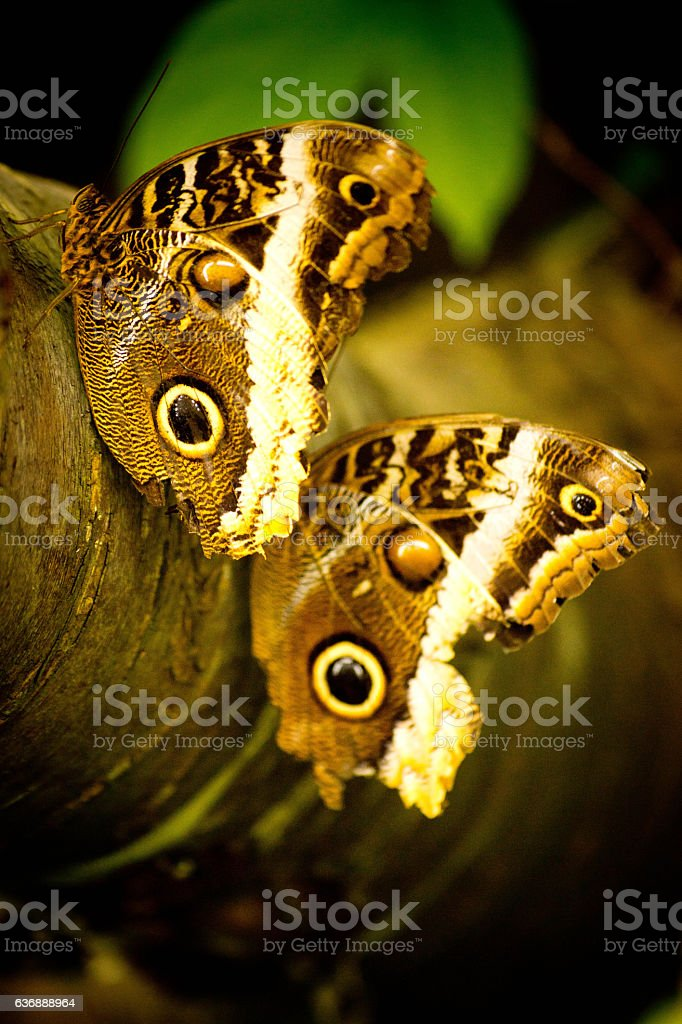 Two Owl butterflies stock photo
