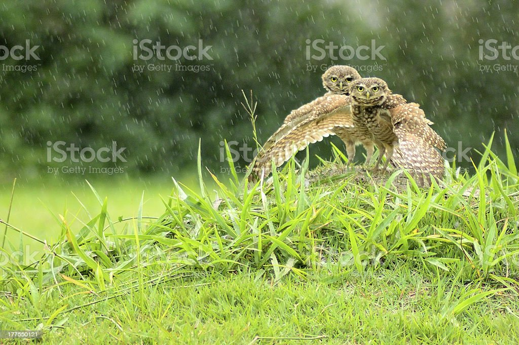 Two owls in the rain stock photo