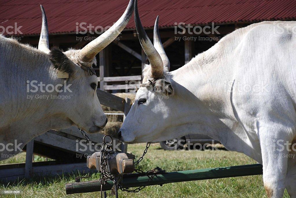 two oxen stock photo