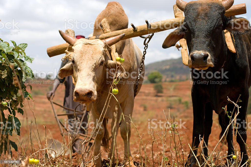 Two oxen plowing a field in Africa stock photo