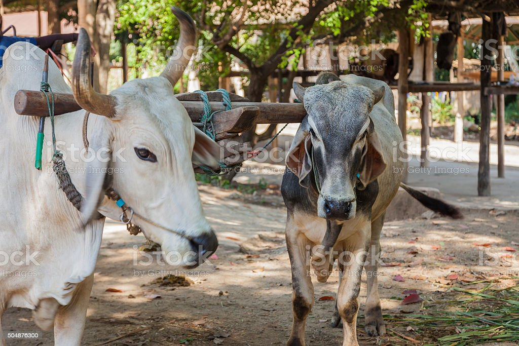 Two oxen that are harnessed to an oxcart stock photo