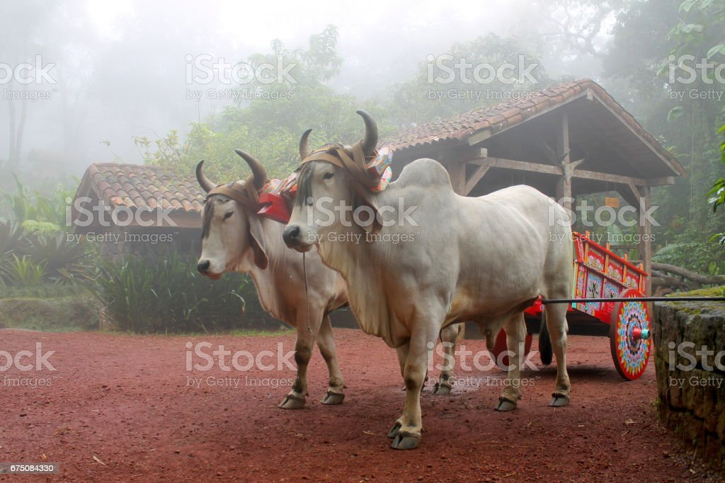 Two Oxen with yoke carrying supplies stock photo