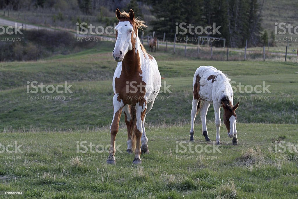 Two Paint Horses royalty-free stock photo