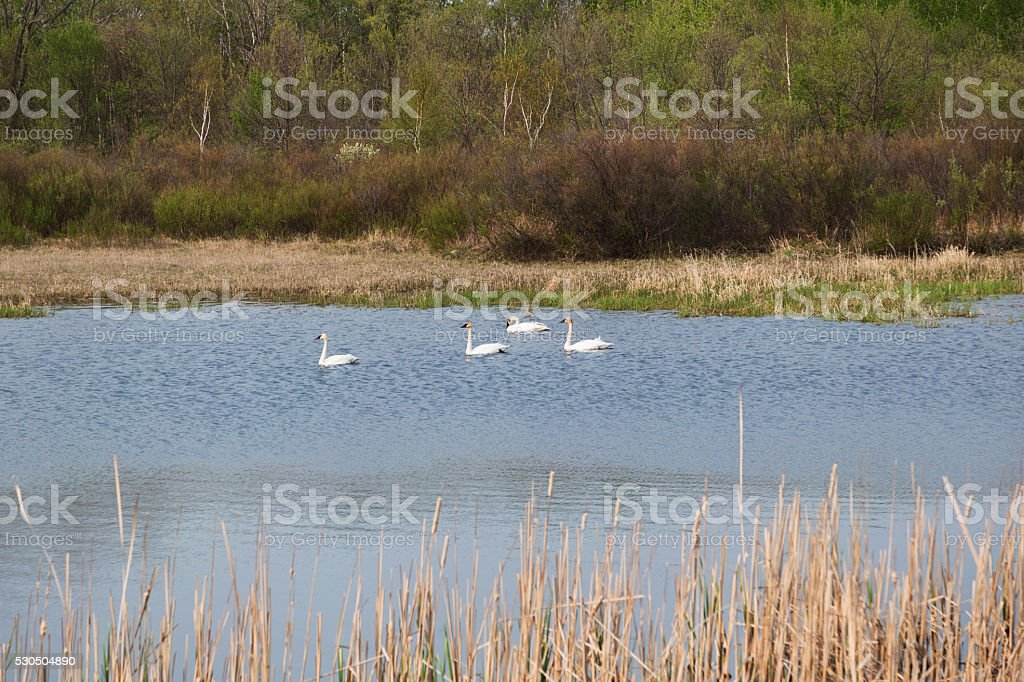 Two Pair of Swimming Trumpeter Swans stock photo