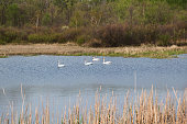 Two Pair of Swimming Trumpeter Swans
