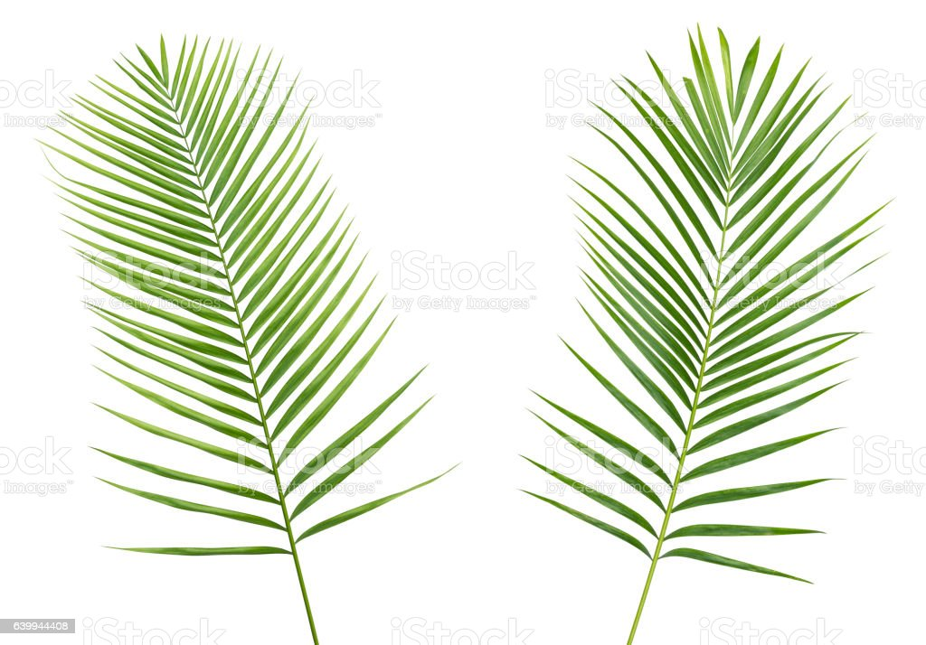 Two palm leaf isolated on white background with clipping path stock photo
