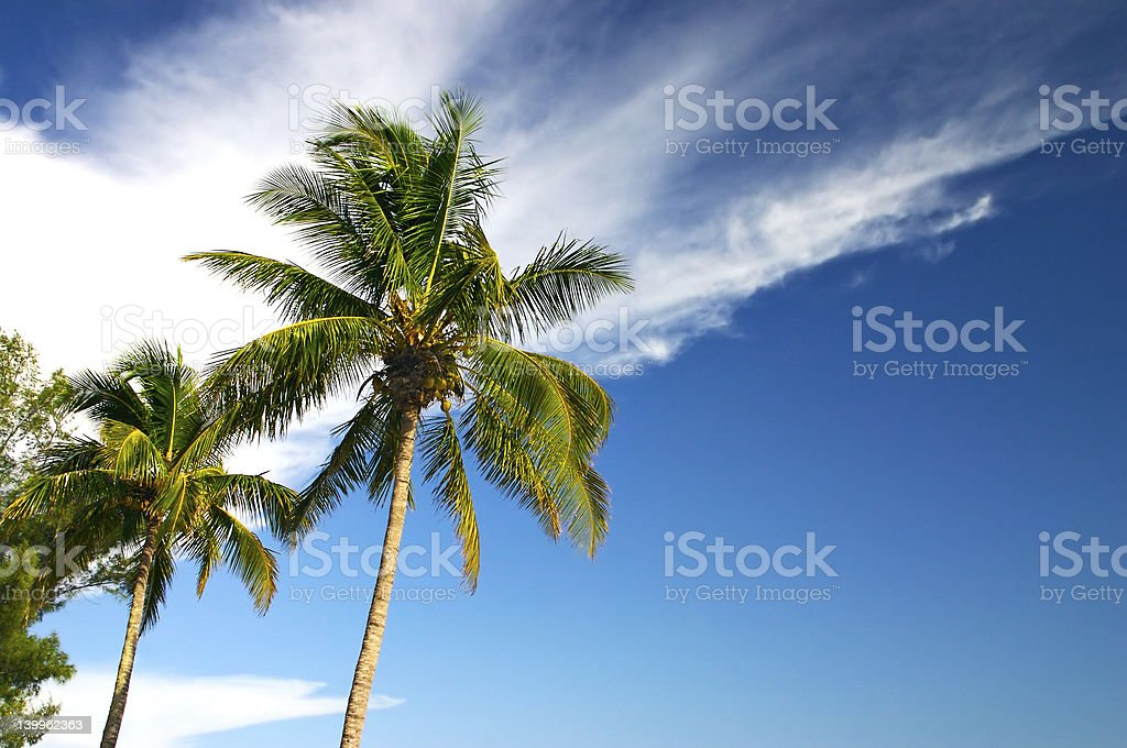 Two Palm trees and a blue sky royalty-free stock photo