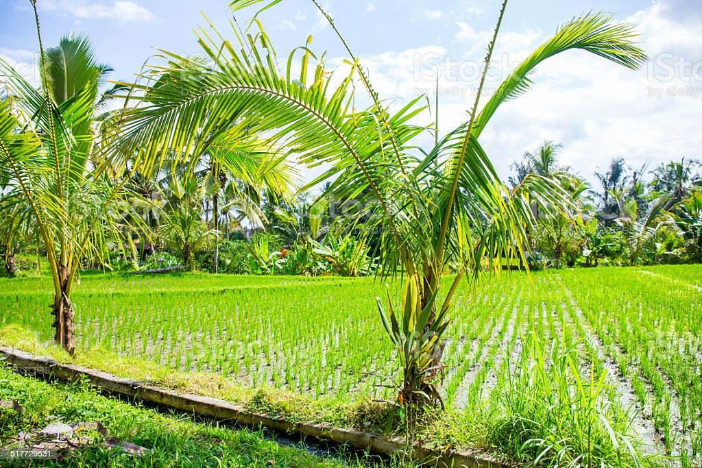 Two palm trees and rice field stock photo