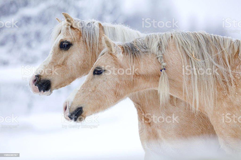 Two palomino horses in winter stock photo