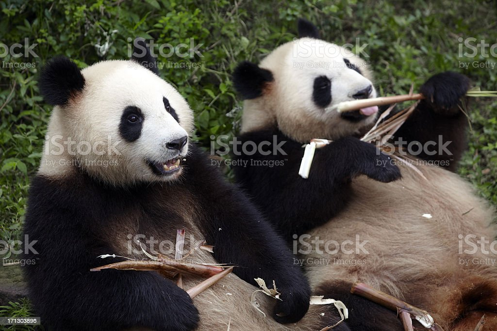 two panda eating bamboo shoot stock photo