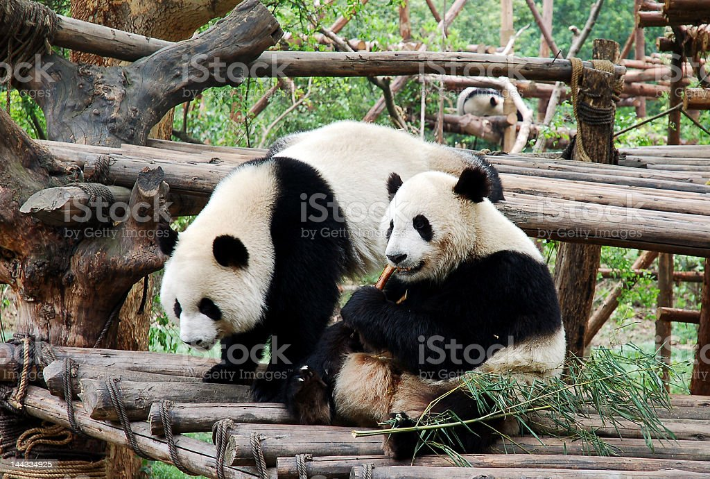 Two pandas on a wooden dock eating bamboo stock photo