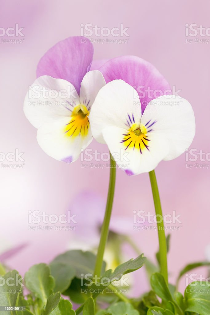 Two pansies stock photo