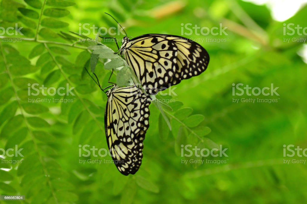Two paper kite butterfys mating between the green leafs. stock photo