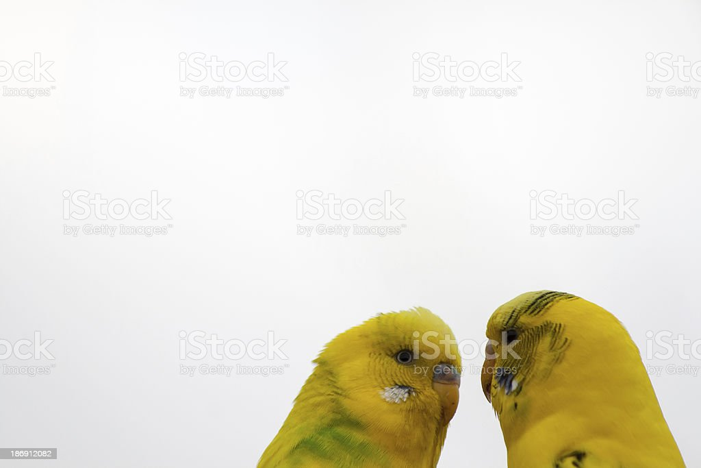 Two parakeets making love  on a white background royalty-free stock photo