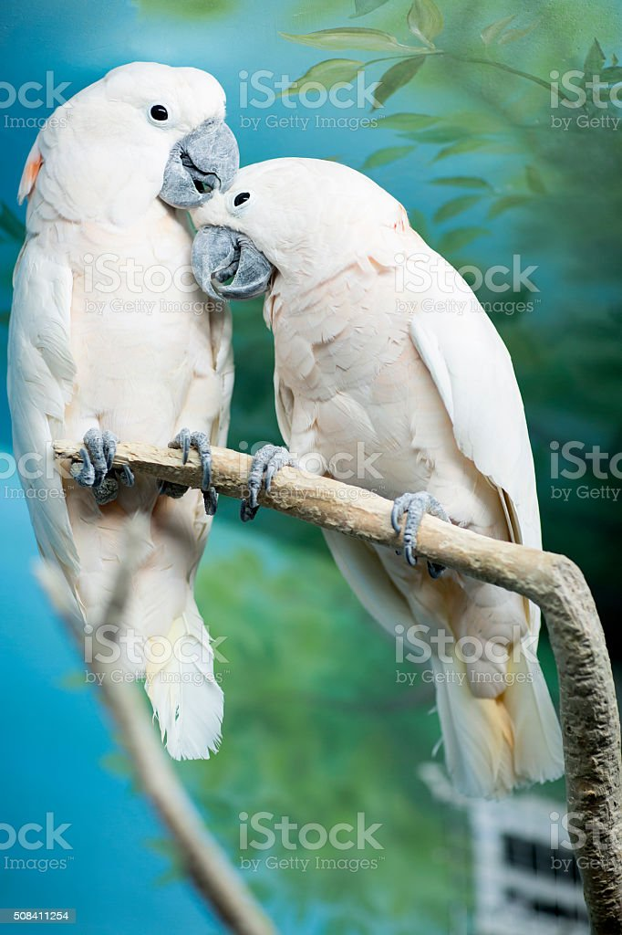 Two parrots sitting on a branch. stock photo