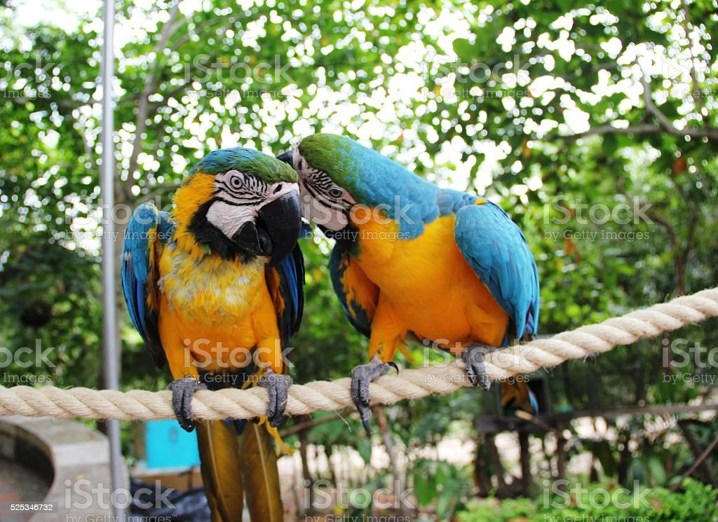 two parrots talking royalty-free stock photo