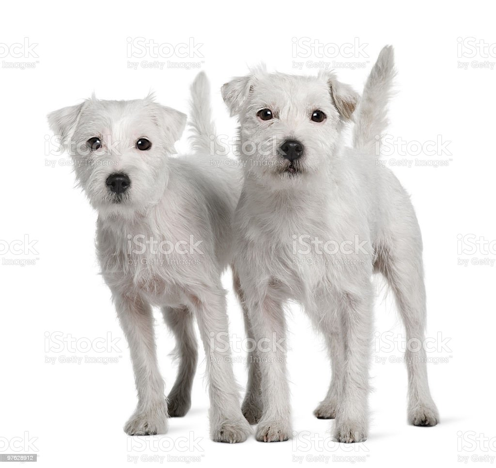 Two Parson Russell Terriers standing and looking at the camera stock photo