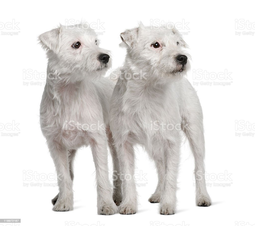 Two Parson Russell Terriers standing and looking away stock photo