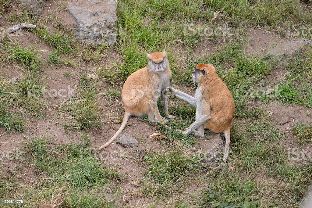 Two Patas monkeys stock photo