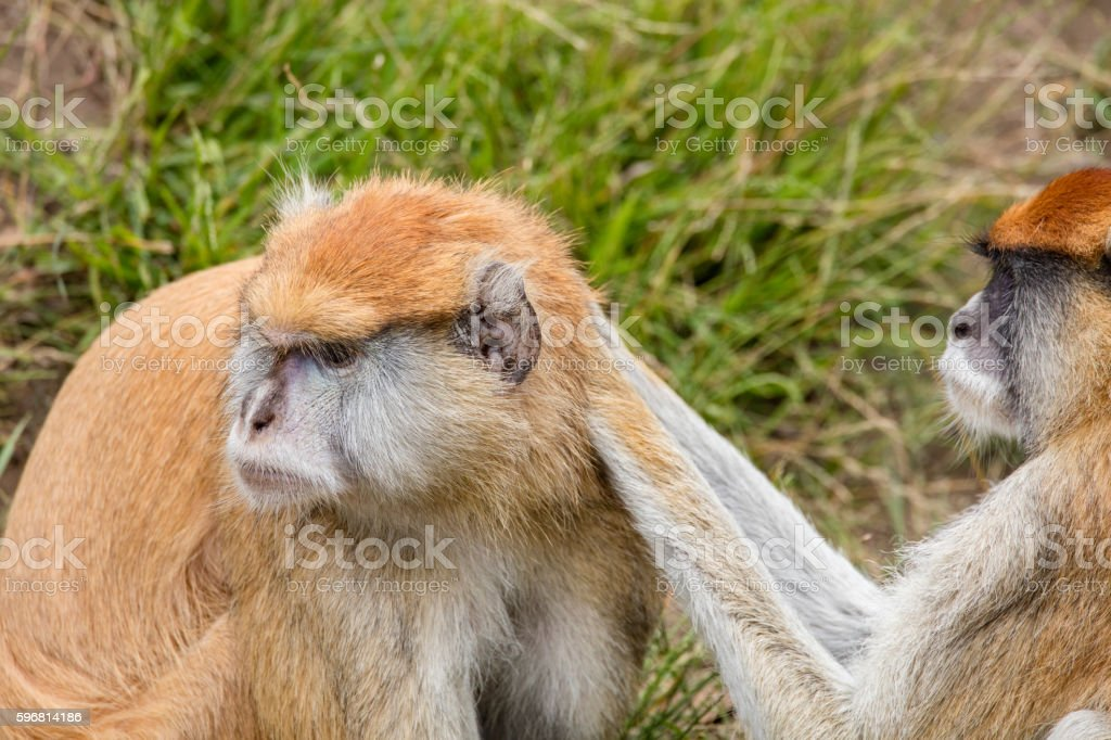Two Patas Monkeys Take Care Each Other stock photo