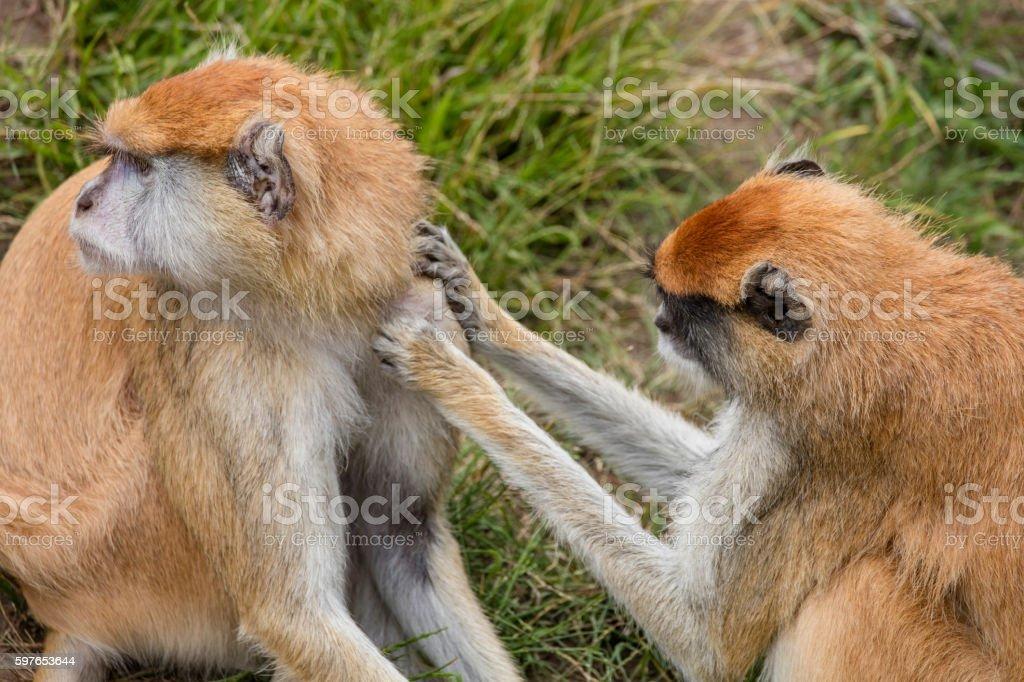 Two Patas Monkeys Take Care Each Other stock photo
