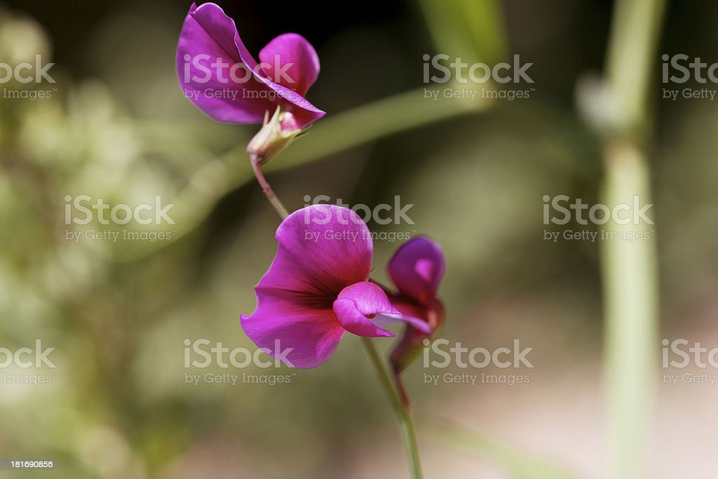 Two Pea flowers. stock photo