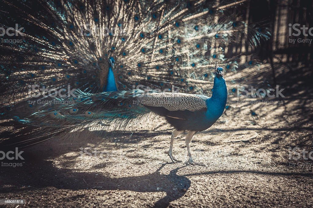 two peacocks show off to each other stock photo
