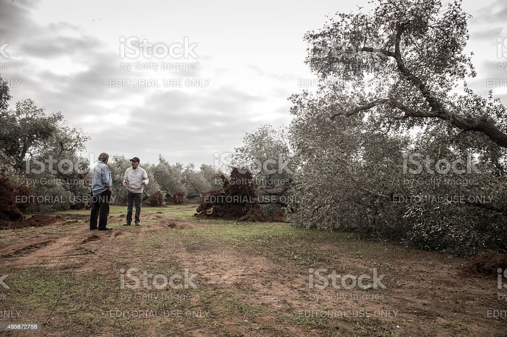Two peasants walking among the olive trees felled stock photo
