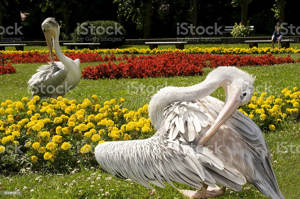 Two pelican between colorful flowers. stock photo