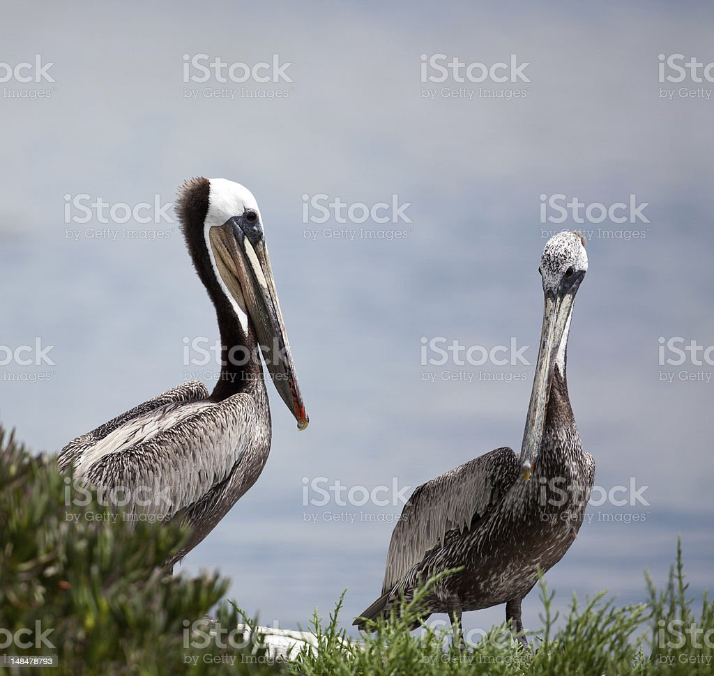 Two Pelicans Facing Each Other royalty-free stock photo