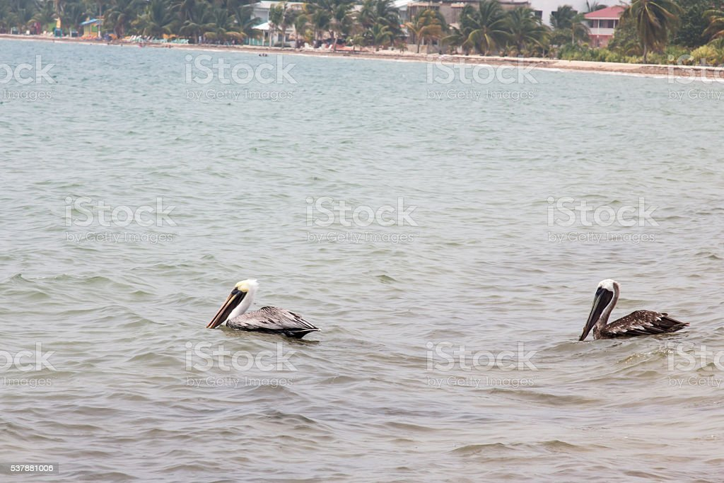 Two pelicans floating in the water in Placencia, Belize stock photo