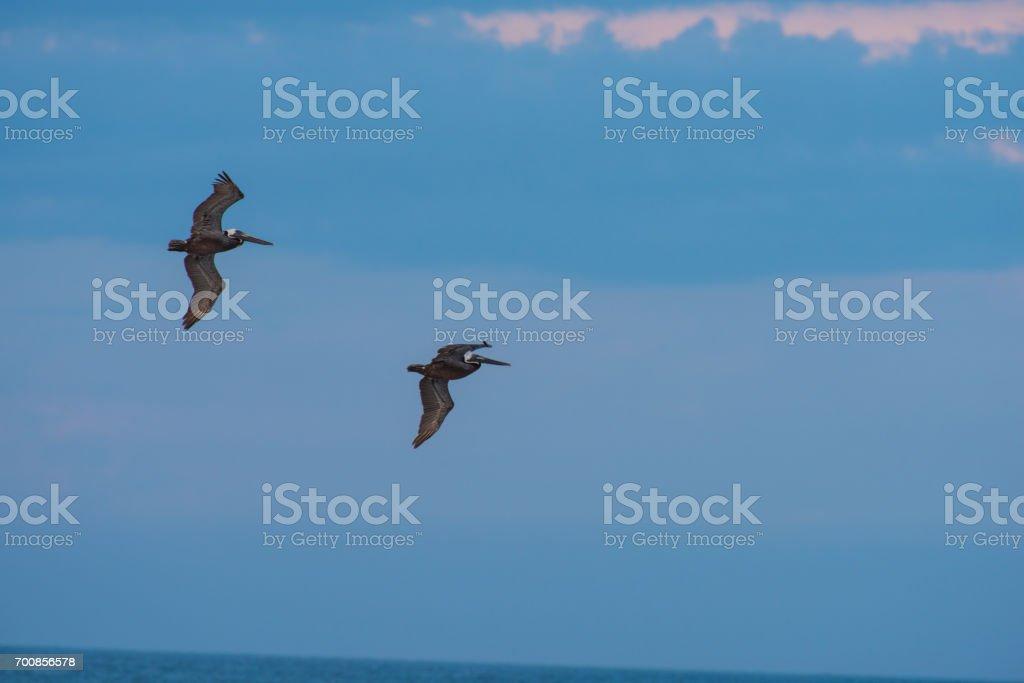 Two Pelicans stock photo