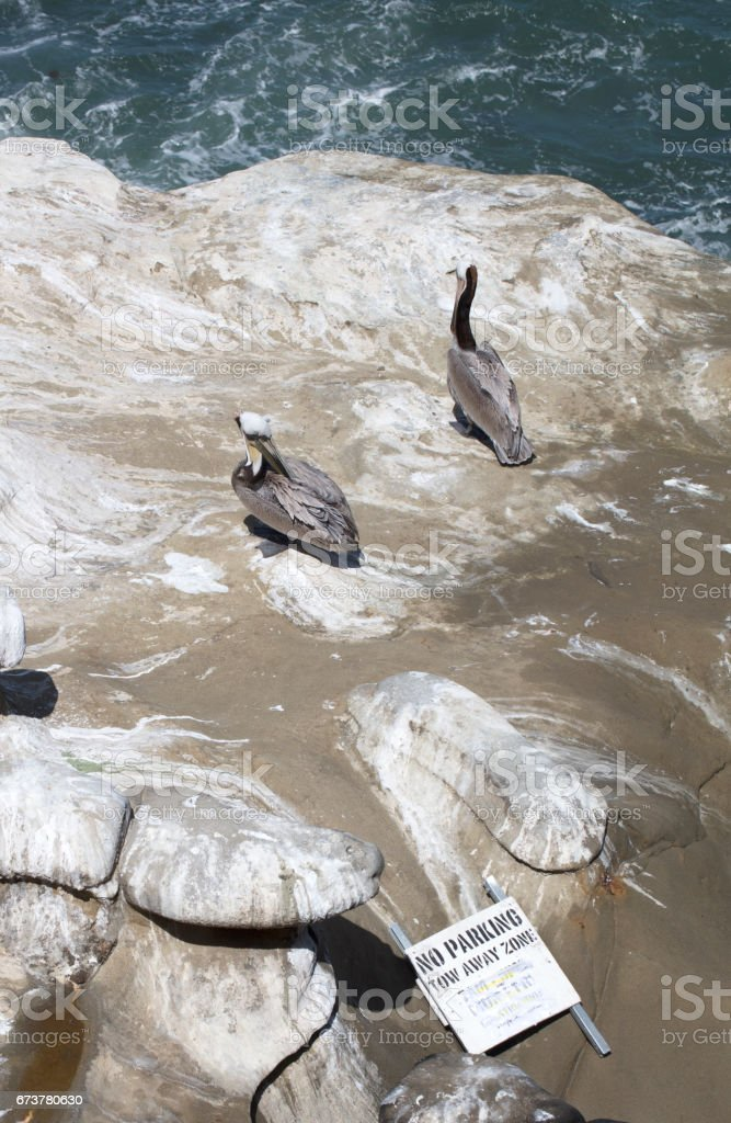 Two Pelicans resting on a cliff with a fallen tow away sign nearby stock photo