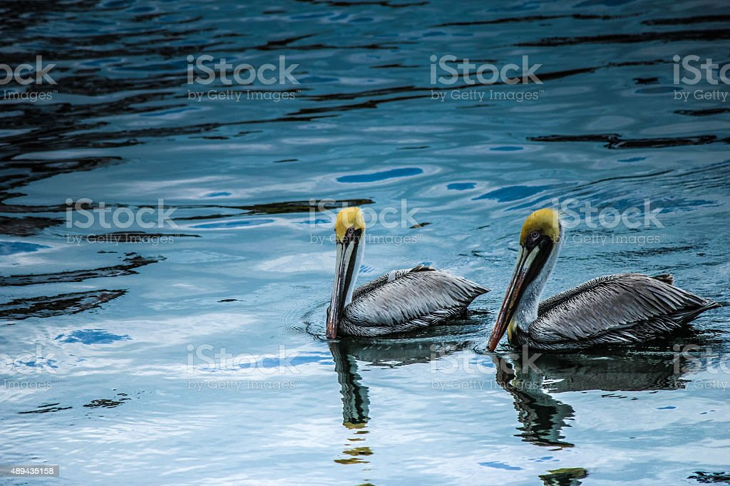 Two pelicans swimming together stock photo