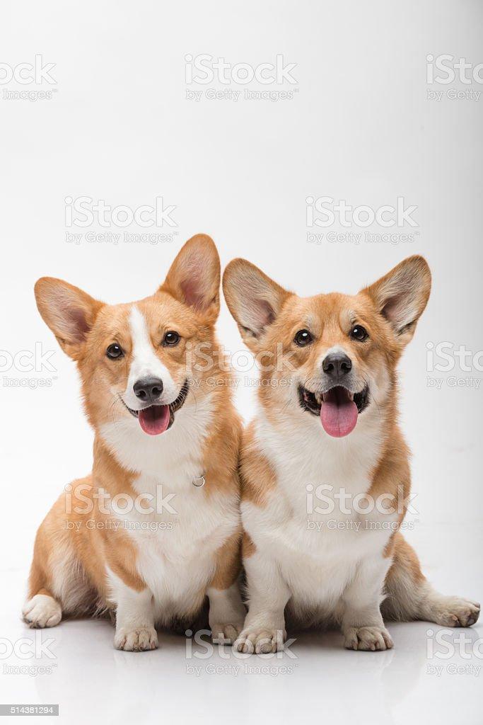 Two pembroke welsh corgi females posing on white background smiling stock photo