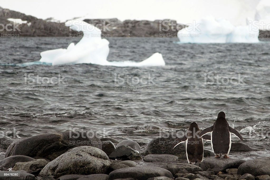 Two Penguins Approach the Sea, Antarctica stock photo