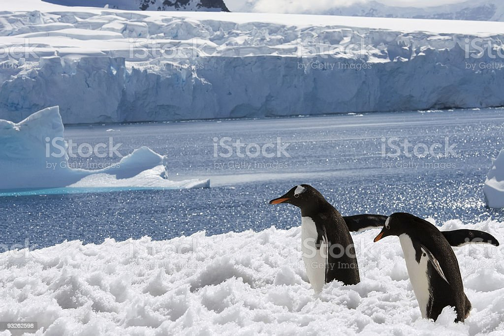 two penguins in snow stock photo