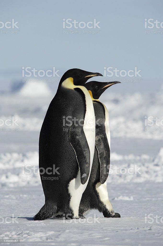 2 つのペンギン ロイヤリティフリーストックフォト