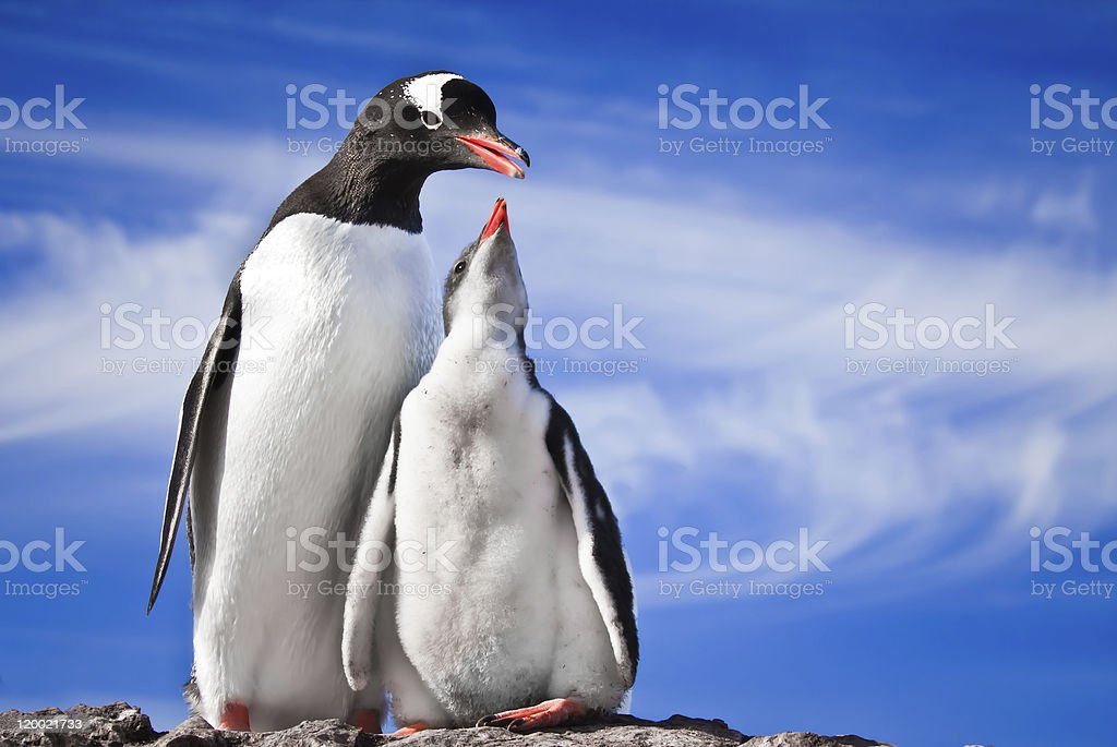 two penguins resting royalty-free stock photo