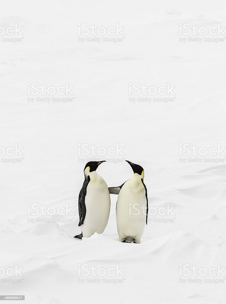 Two penguins standing stock photo