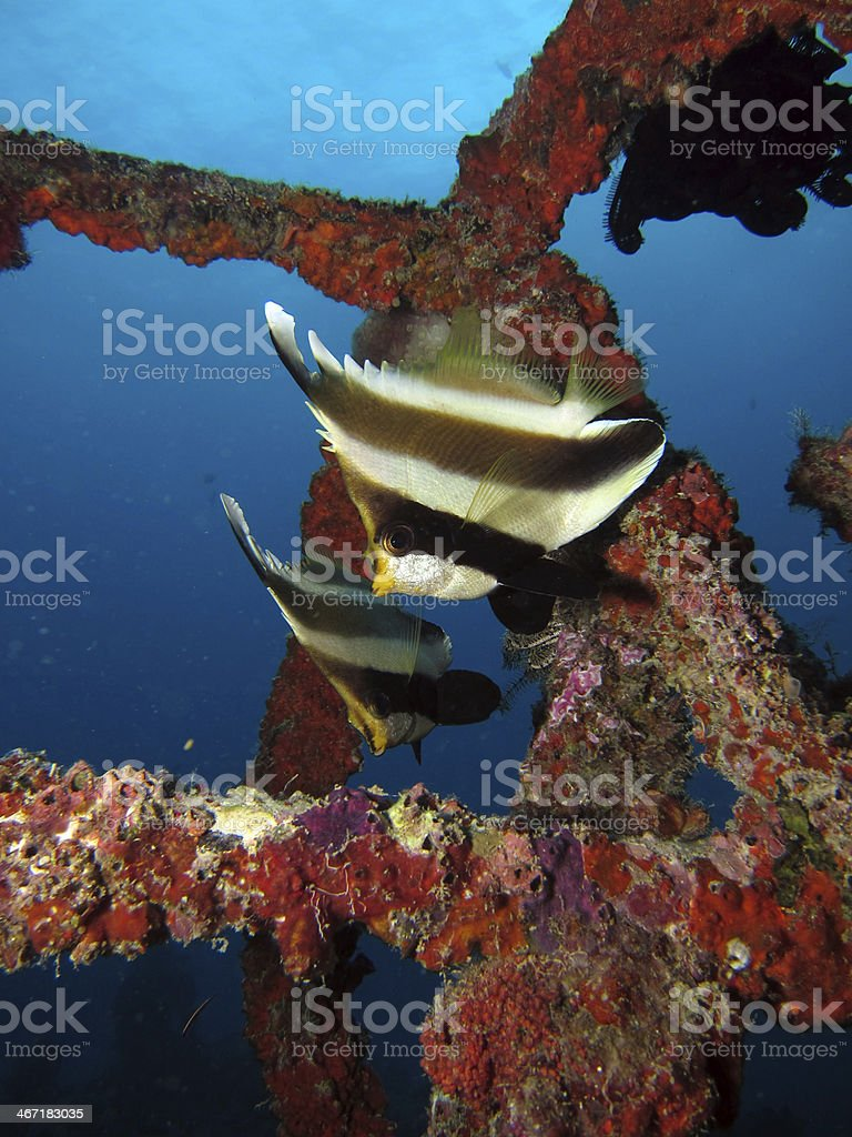 Two Pennant Butterflyfishes stock photo