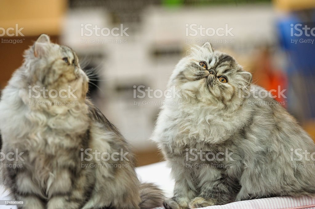 Two Persian cats royalty-free stock photo
