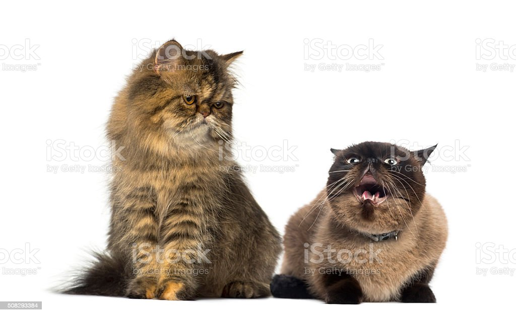 Two Persians in front of a white background stock photo