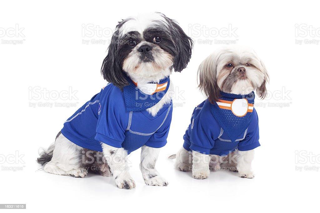 Two Pet Shitzu Dogs Wearing Blue Shirts royalty-free stock photo