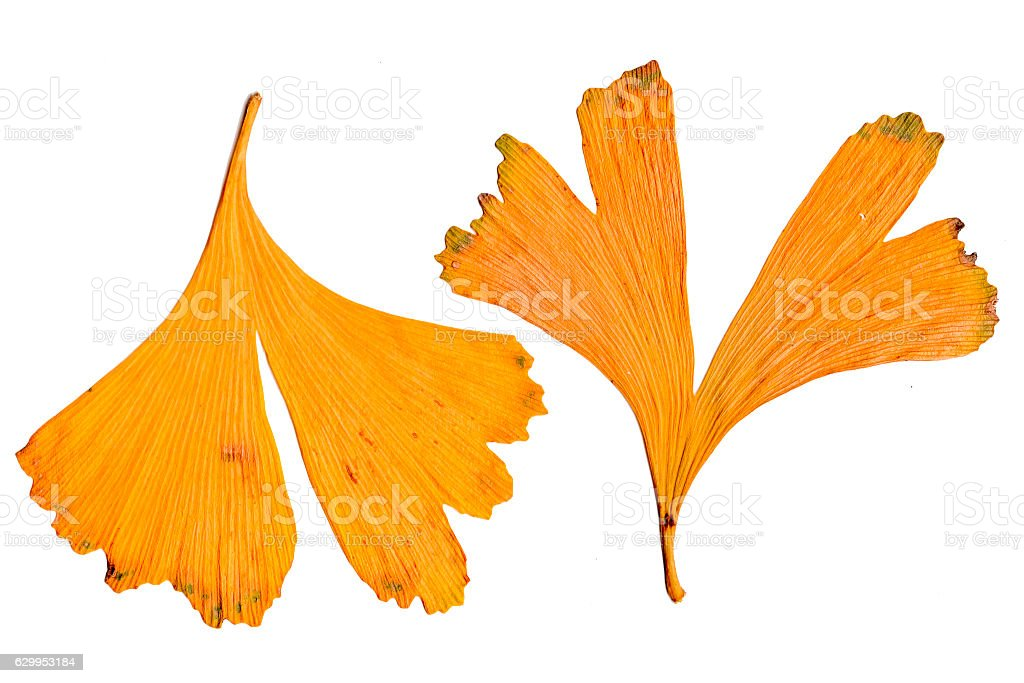 Two pieces of ginkgo fallen leaves stock photo