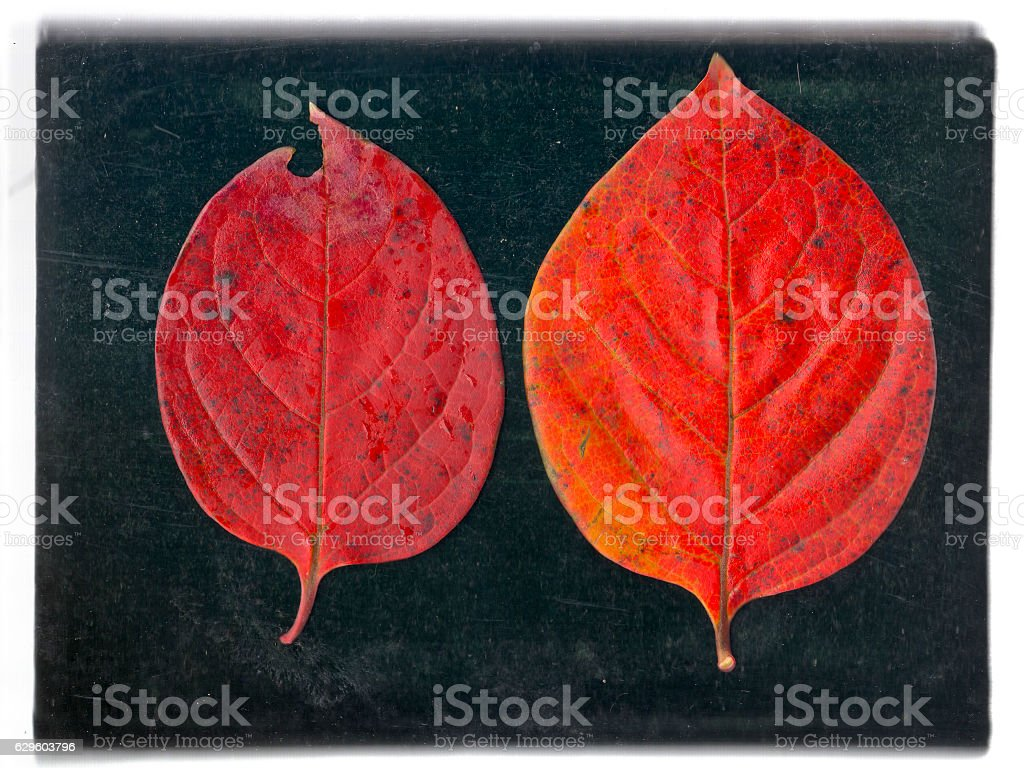 Two pieces of persimmon fallen leaves stock photo