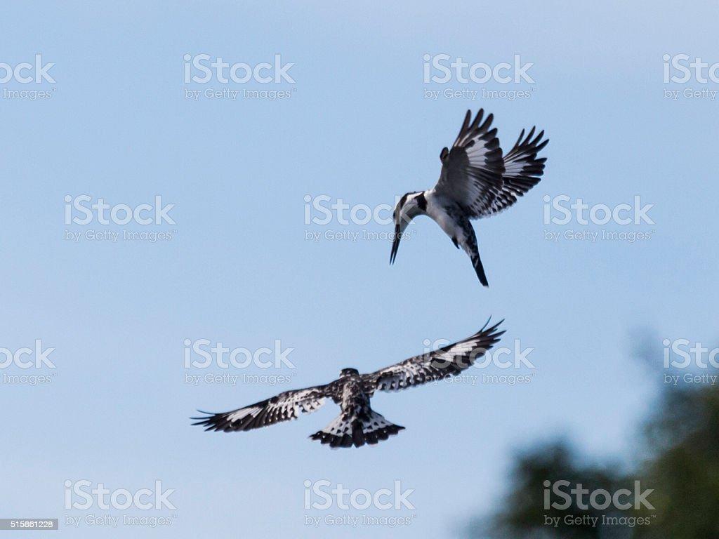 Two Pied Kingfishers in flight; Chobe NP, Botswana, Africa stock photo