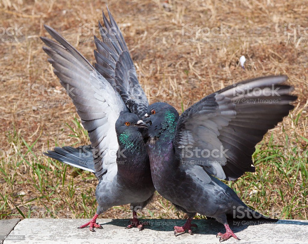 Two pigeon kissing stock photo