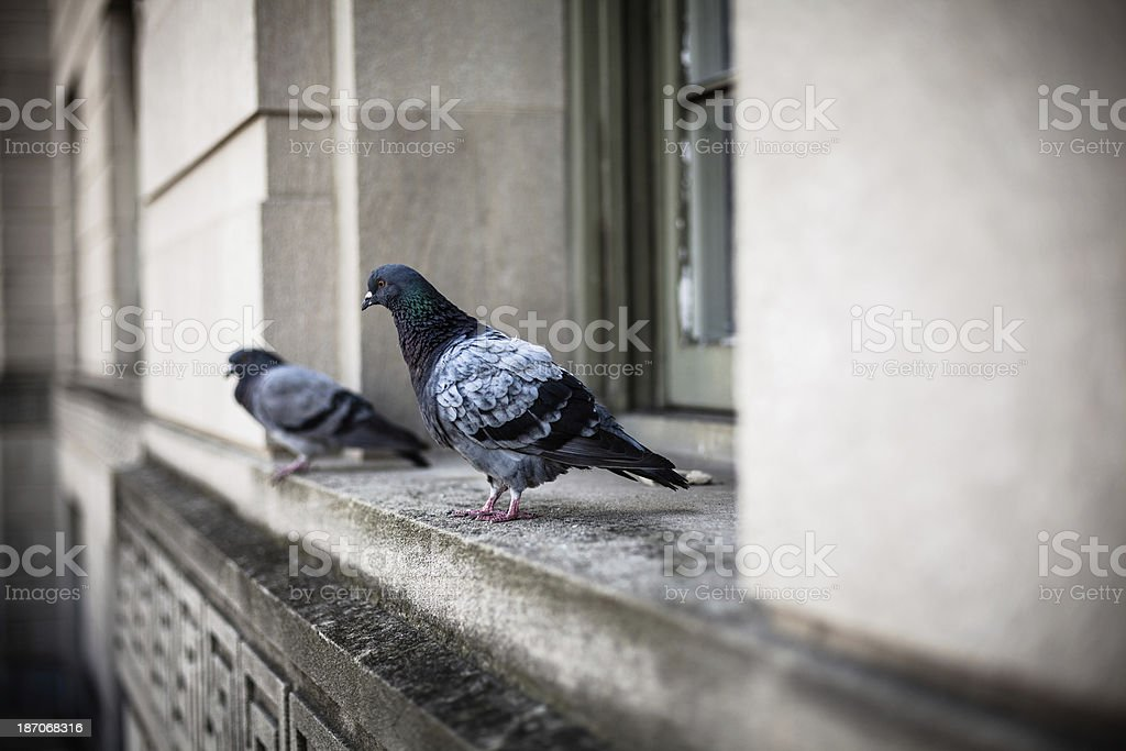 Two Pigeons on a Window in Washington DC royalty-free stock photo